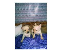 Baby Deer head Chihuahuas