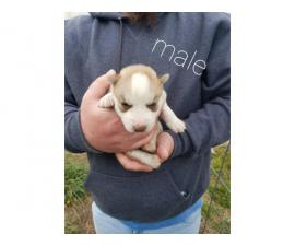 AKC Siberian Husky Puppies For Sale