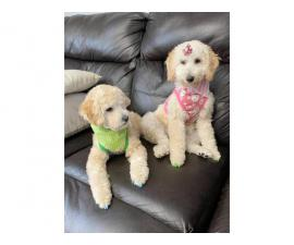 Apricot Poodle Puppies for Sale