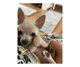 White Apple head Chihuahua puppy for sale