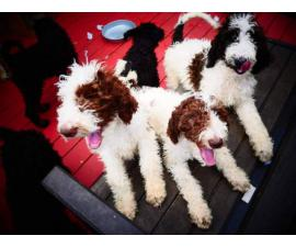 2 girls and 4 boys standard poodle for sale