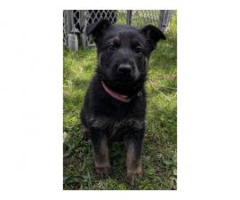 8 AKC German Shepherd Puppies for Sale