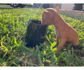 2 Teacup chihuahua puppies for sale