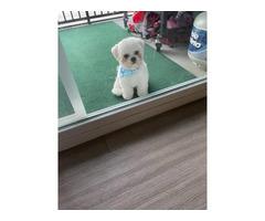 7 months old Teddy Bear Puppy