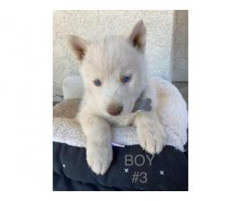 Pretty Siberian Husky Puppies with Blue eyes