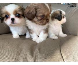 2 male and 1 female Purebred Pekingese puppies