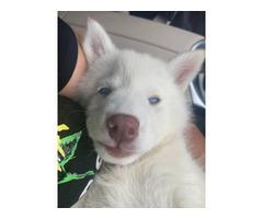 Beautiful white female Siberian Husky with blue eyes