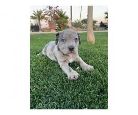 3 Merle blue nose pit puppies for sale