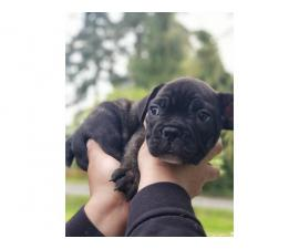 3 French Bulldog puppies for sale