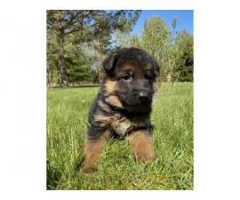 4 Purebred German Shepherd puppies