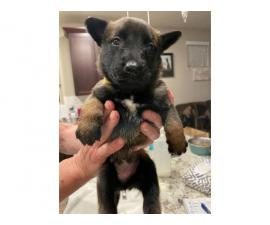 5 AKC Belgian Malinois Puppies for Sale