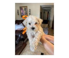 6 weeks old Mini schnauzer male puppy