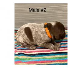 Liver and roan German Shorthaired Pointer Puppies