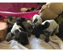 8 AKC German Shorthaired Pointer Puppies