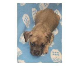American Bully puppies for Sale
