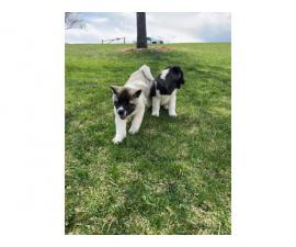 AKC Akita puppies for sale