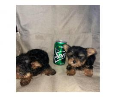 3 months old Yorkie puppies