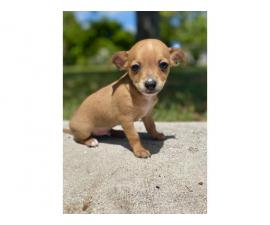 Two teacup chihuahua puppies ready