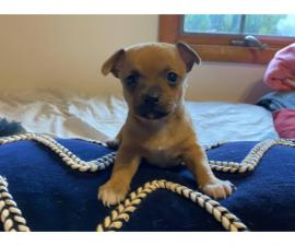 Three adorable chihuahua puppies for sale