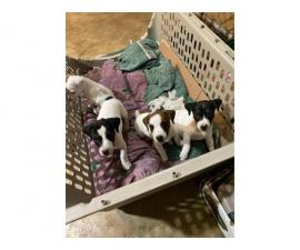 4 Jack Russell Terrier puppies for sale
