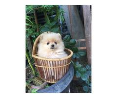 2 adorable Pomeranians for Sale
