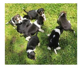 Full-blooded beagle puppies for sale