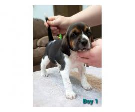 6 Beagle puppies available