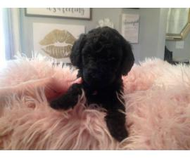 Purebred Standard Poodle puppies for Sale