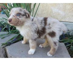 10 Registered Australian Shepherd puppies for sale