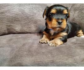 Super cute Morkie puppy