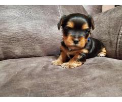 Super cute Morkie puppy