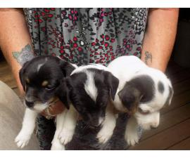 Full blooded Jack Russell Terrier puppies