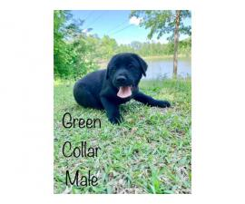 2 black male Lab puppies available
