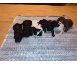 AKC Registered English Cocker Spaniel puppies for sale
