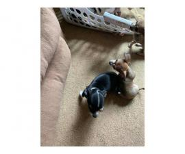 7 weeks old Chihuahua Puppies