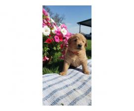 AKC Labradoodle Pups for Sale