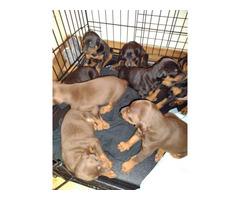 Doberman pinscher puppies ready to go home