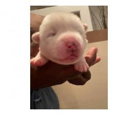 Registered Pure Bred Akita Puppies