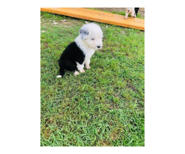 4 fullblooded male english sheepdog puppieS