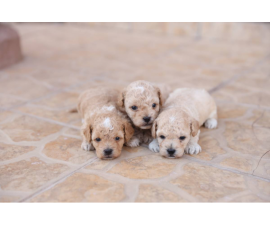 3 Toy Poodle puppies looking for new home