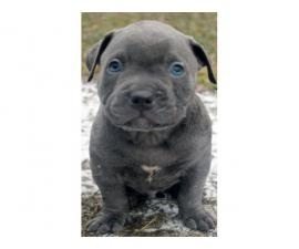 10 Weeks Old Pitbull Puppies For Sale