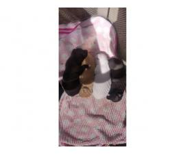 4 Chihuahua puppies ready to go