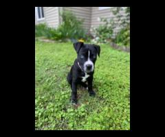 Purebred Black and White Pit bull puppy