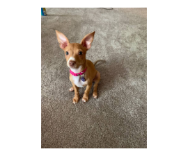 Red nose chihuahua puppy looking for home