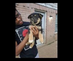 Gerberian Shepsky puppies for good homes