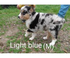 Gorgeous Standard size Australian shepherd puppies for Sale