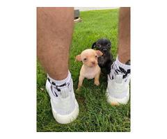 Tan and black Purebred Chihuahua puppies