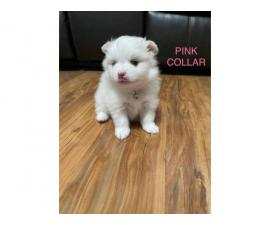 Beautiful Pomeranian puppies looking for their perfect home