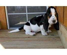2 black and white Basset hound puppies available