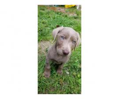 AKC Silver Labrador Retriever Puppy